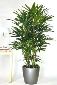 Best 25 Large Indoor Plants Ideas On Pinterest Unusual For Astonishing 2 Www