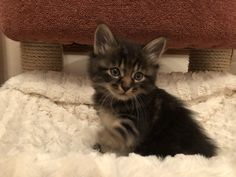 Bobtail Cat, Cattery, Cats, Animals, Gatos, Animales, Animaux, Animal, Cat