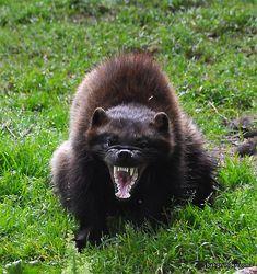 Wolverine (Gulo gulo) in a mood.
