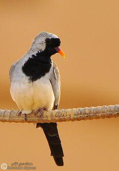 Oena Capensis (Namaqua Dove)
