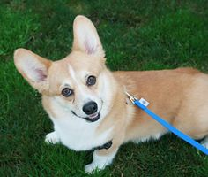 "The 5 Best Dogs for Your Golden Years - Pembroke Welsh Corgi is the favored dog of England's Queen Elizabeth - who also fancies her ""Dorgi's"" - a double dose of short-leggedness that's the offspring of a Corgi and a Dachshund."