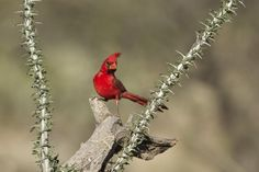 Northern Cardinal by Mario Davalos P. Northern Cardinal, Cardinal Birds, Green Valley, Life Photo, Outdoor Life, Arizona, Art Photography, Mario, Photo Galleries
