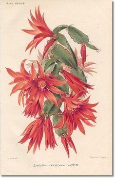 Revue Horticol - Botanical Print - Illustrated Book Plate Illustration from Revue Horticole 1800s - Botanical Print - 22 - CHRISTMAS CACTUS Archival Fine Art Paper Print