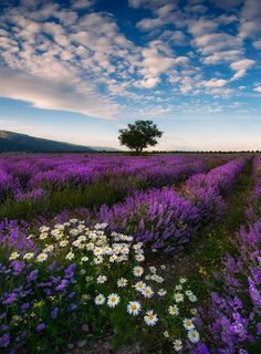 Lavender field in Bulgaria by Krasi St M