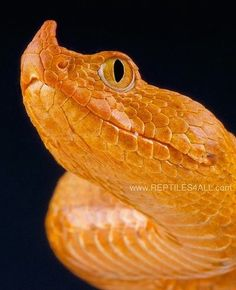 Long-nosed viper, Vipera ammonites by Reptiles4all @ flickr