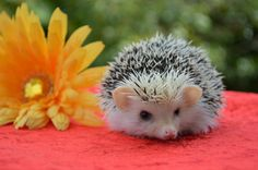 Spiny cute hedgehogs hd wallpapers (3)