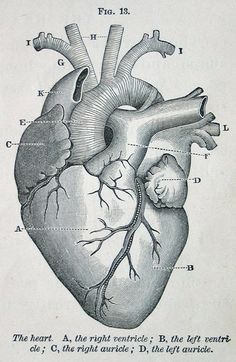 gross anatomy of the human heart exercise 30
