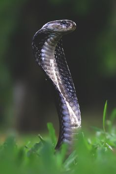 Travel Story - My list of the most beautiful animals Les Reptiles, Cute Reptiles, Reptiles And Amphibians, Beautiful Snakes, Animals Beautiful, Beaux Serpents, Serpent Animal, King Cobra Snake, Snake Wallpaper