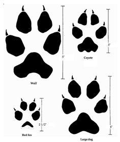 Comparing the tracks or pawprints of a wolf, a coyote, a red fox, and a large dog. Pet or winter science for preschool Chakra Tattoo, I Tattoo, Coyote Facts, Coyote Tattoo, Wolf Paw, Timberwolf, Animal Tracks, Dog Tattoos, Red Fox