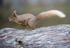 Running Squirrel running | Flickr - Photo Sharing!