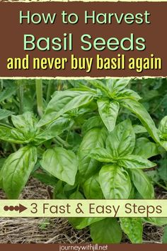 If you have grown basil in your herbs garden, you may not know how easy it is to harvest your own basil seeds for next season's planting! These three fast and easy steps will get you harvesting basil seeds and you'll never have to buy basil again! Growing Herbs, Growing Vegetables, Gardening For Beginners, Gardening Tips, Flower Gardening, Garden Pests, Herbs Garden, Box Garden, Garden Pallet