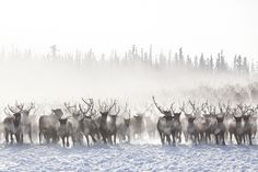 Reindeers migration Photo by Alessandra Meniconzi — National Geographic Your Shot