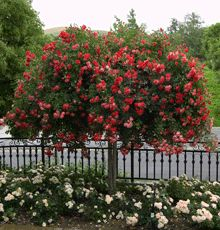 Knockout Rose TREE!! Disease resistant - even to blackspot! - drought tolerant-adaptable to various soils and growing conditions. Blooms 9 months of the year.