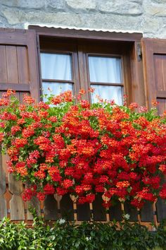 Types of Houseplant Bugs and Methods to Check Their Infestation Granium Pelargonium - Repulsif Contre Les Moustiques Windows, Plantation, Permaculture, Horticulture, Trees To Plant, Garden Inspiration, Houseplants, Garden Art, Indoor Plants