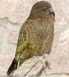 Kea Parrot.  Keas are large parrots native to the alpine regions of New Zealand that are known for their intelligence and curiosity.  Adults are mostly olive-green with a brilliant orange flash under their wings.      Read more: http://www.dailymail.co.uk/news/article-2130993/Meet-Nelson-baby-parrot-ugliest-bird-world.html#ixzz1sQbfg8UA