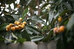 Loquat. Evergreen trees that flower in late autumn and early winter with fruits appearing in spring. Drought tolerant but deep watering through summer and early autumn will improve fruit size. Little pruning required.