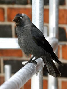 Die Dohle ist eine der intelligentesten heimischen Vogelarten