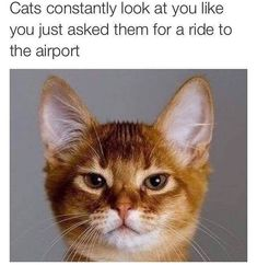 Cats Constantly Look At You Like You Just Asked Them For A Ride To The Airport - Funny Memes. The Funniest Memes worldwide for Birthdays, School, Cats, and Dank Memes - Meme Funny Kittens, Funny Cat Memes, Funny Cat Videos, Funny Animal Pictures, Cute Funny Animals, Funny Cute, Cats And Kittens, Cute Cats, Animal Pics