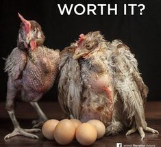 Egg-laying hens live lives of misery. Show your compassion by going #vegan