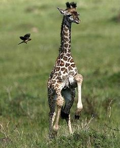 Baby giraffe frolicking