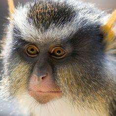 Wolf's Guenon monkey