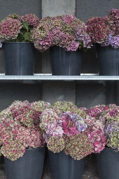50 couleurs mélangées 2018 graines HARDY in UK Cyclamen Coum