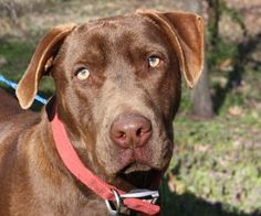 Titan is an adoptable Chocolate Labrador Retriever Dog in Kennebunkport, ME. Titan is a 10 month old chocolate lab mix who weighs around 65lbs. He is crate trained and housebroken and a total sweethe...
