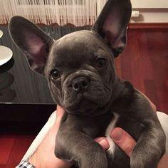 Capo, the Blue French Bulldog Puppy @capo_the.frenchie