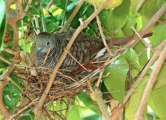 A Zebra Dove nesting outside our kitchen window.