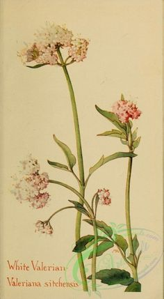Western Wild Flowers 1915 White Valerian Canvas Art - M Armstrong x Botanical Flowers, Botanical Prints, Illustrations, Illustration Art, Western Wild, Botanical Drawings, Art Clipart, Arte Floral, Nature Prints