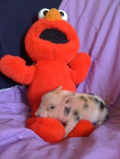 micro pig and Elmo
