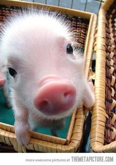 I want a baby pig soooo bad.  But only for a day.