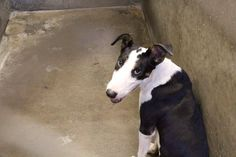 Available 7-21-2014 for adoption or fostering. He's a beautiful Bull Terrier mix, less than 1 year old. Located in Kennel A3. This is a high kill shelter so please adopt your next pet and save a life. Only $51 adoption fee or foster for FREE! Odessa TX animal control. https://www.facebook.com/speakingupforthosewhocant/photos/a.573572332667009.1073741829.248355401855372/810921832265390/?type=1&theater