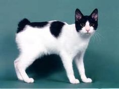 15 Awesome Black And White Japanese Bobtail Cat Photos And Images Warrior Cats, Japanese Bobtail, Gato Bobtail, Cute Cats, Funny Cats, Frida Art, Domestic Cat, Beautiful Cats, Cat Breeds