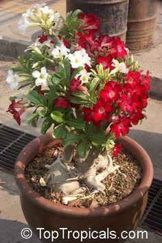 Adenium hybrid (single flower), Desert Rose, Impala Lily, Adenium hybrids