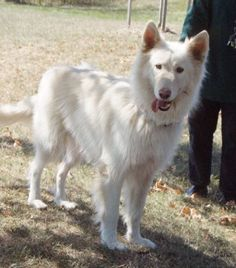 One of THE most gorgeous dogs I've ever seen. Solid white, longcoated German Shepherd. This guy was available through a rescue.