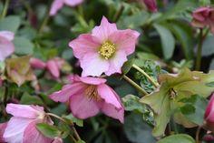"Helleborus ""Rosemary Walbertona"", Christmas Rose ""Rozmaryn Walberton"", Lenten Rose ""Rozmaryn Walberton"", Helleborus ""Walhero"", Hellebore ""Rozmaryn Walberton"", Pink Hellebore"