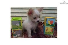 Meet ROWDY a cute Chihuahua puppy for sale for $750. AKC/CKC FAWN/WHITE MALE