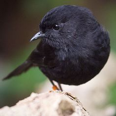 Black Robin, Petroica traversi, Chatham Islands off the east coast of New Zealand-. I Like Birds, Kinds Of Birds, Pretty Birds, Little Birds, Beautiful Birds, Animals Beautiful, Black Animals, Cute Animals, Chatham Islands