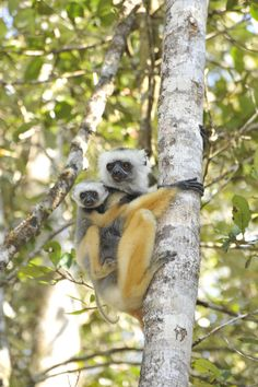 Researchers are using RNA sequencing to identify emerging infectious diseases in lemurs that standard diagnostic tests cannot detect. The technique could pave the way for earlier, more accurate detection of diseases that move between animals and people. Credit: David Haring, Duke Lemur Center