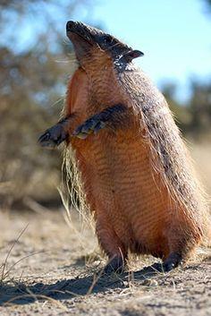 El pichi (Zaedyus pichiy), también llamado piche o quirquincho, es una especie de mamífero cingulado de la familia Dasypodidae que habita en el sur de Argentina y Chile, en la región patagónica hasta el estrecho de Magallanes.