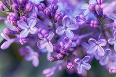 Lilac Dream by artist Jenny Rainbow. Winner in Best Spring Flowers contest.