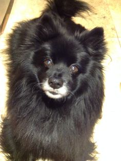 My lovely German Spitz, 14years old!