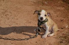 367 Dogs Seized In Dogfighting Raid | 367 dogs seized in multi-state dog fighting case