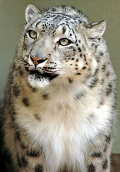 It's possible to see amazing, gorgeous animals at the @Cheyenne Hernandez Hernandez Hernandez Mountain Zoo