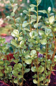 Purselane A nutritious succulent weed. It is crunchy with a slight lemon taste. It can sub for spinach in any recipe. The high pectin level can thicken soups & stews.