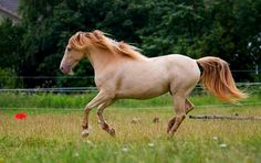 Spicy, champagne rocky mountain horse mare