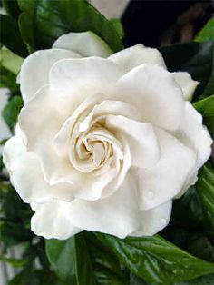 Gardenias are very fragrant creamy-white flowers with glossy, dark-green leaves. They release a savory sweet scent that is both hypnotizing and enticing.