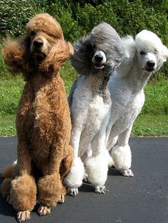 windy day #standard_poodle.