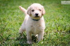Meet Katie a pretty Goldendoodle puppy.